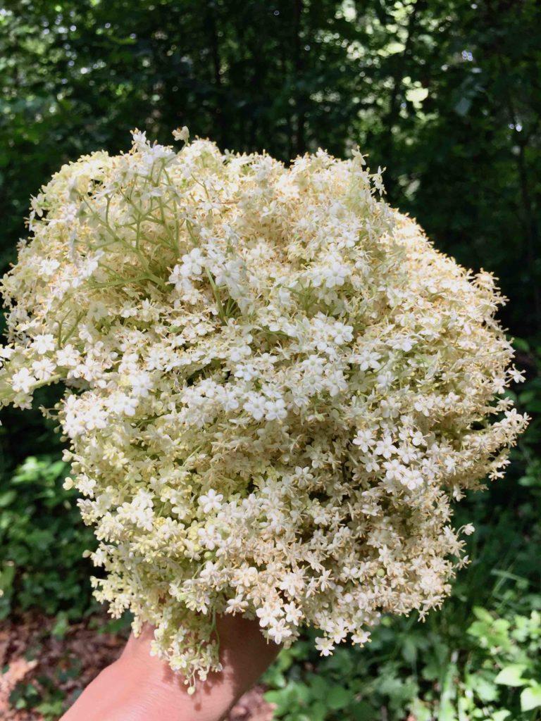 Ein Strauß Holunderblüten, aus denen beim Backen mit Kindern ein saftiger Holunderblütenkuchen wird.