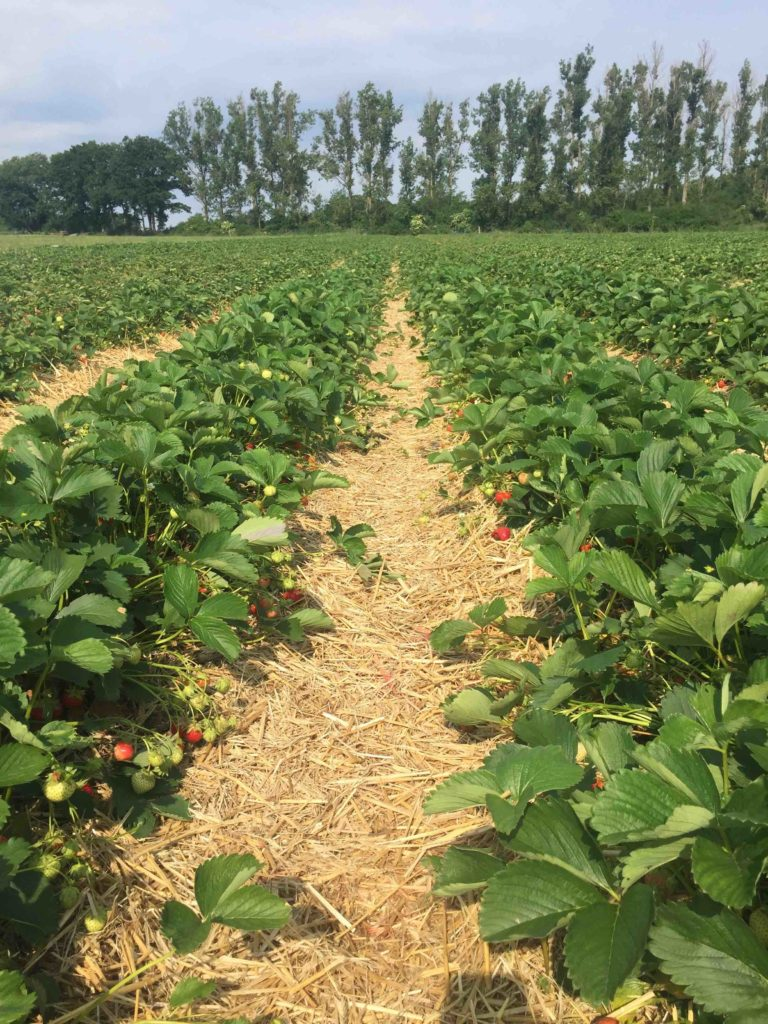 Im Erdbeerhimmel - Ein Erdbeerfeld voller frischer Früchte für den schnellen Sommerkuchen.