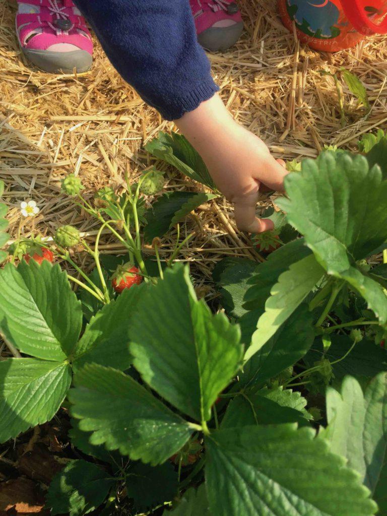 Die Kinder helfen sogar beim Pflücken der frischen Erdbeeren für den schnellen Sommerkuchen.