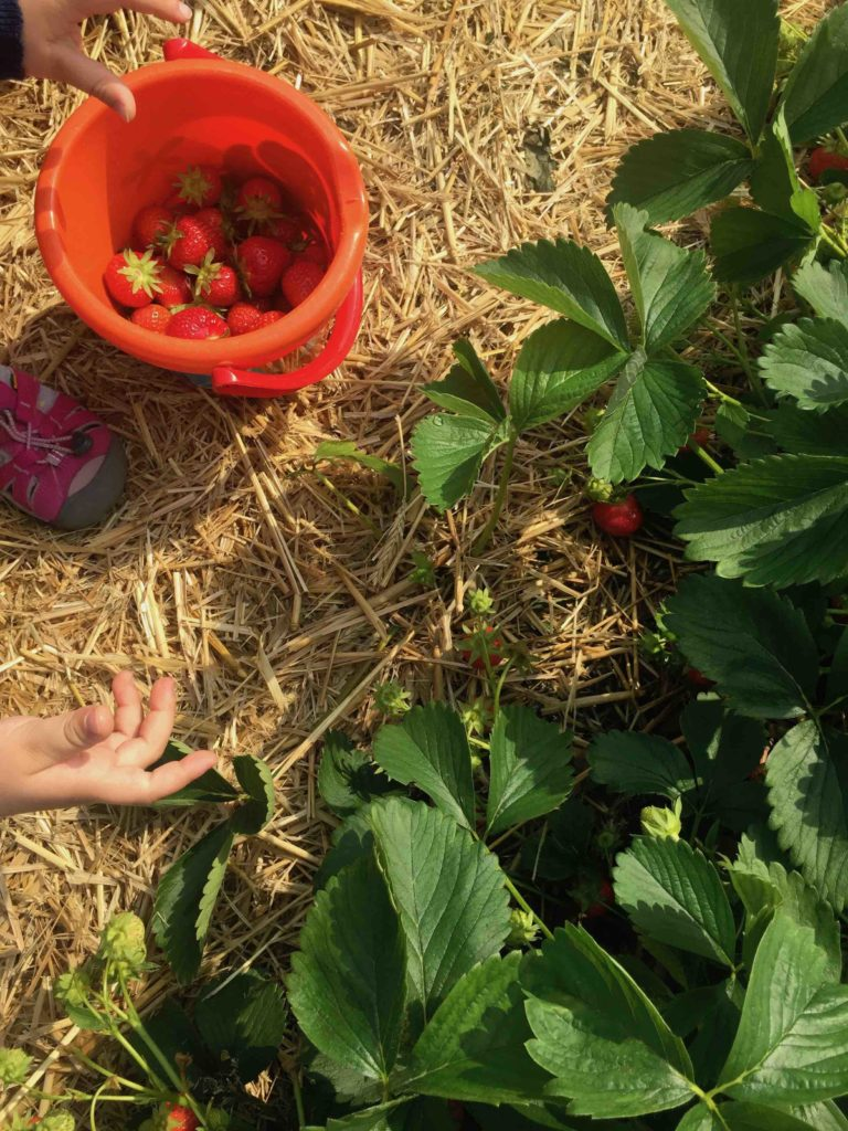 Für den Erdbeerkuchen mit Biskuitboden kommen die Erdbeeren frisch vom Feld.