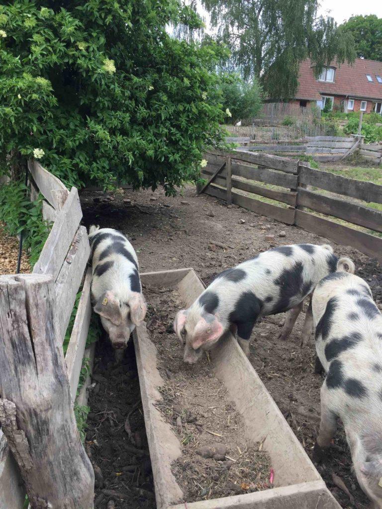 Bevor wir uns bei selbstgebackenen Kuchen in unserem Lieblingscafé stärken, besuchen wir die bunten Bentheimer Schweine.