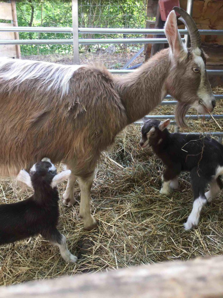Auf dem Hof an den Teichen schauen meine Minis den kleinen Ziegenbabies am liebsten beim Wachsen zu